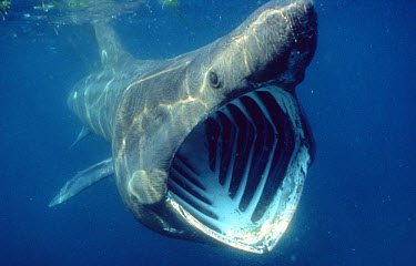 Basking Shark (Cetorhinus maximus) filter feeding on zooplankton, United Kingdom  -  Alan James/ npl