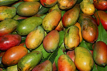 Mango (Mangifera indica) fruit displayed for sale, Port Louis market, Mauritius  -  Nick Garbutt/ npl