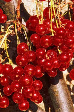 Redcurrant (Ribes rubrum) cultivated fruit, Scotland  -  Brian Lightfoot/ npl