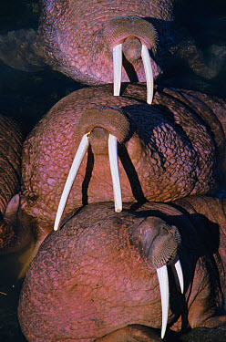 Pacific Walrus (Odobenus rosmarus divergens) group hauled out on land, Round Island, Alaska  -  Neil Lucas/ npl