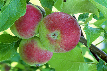 Apple (Malus communis) fruit on tree, North America  -  Larry Michael/ npl
