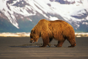 Grizzly Bear (Ursus arctos horribilis) with mountains and snow in background, Halo Bay, Alaska  -  Neil Lucas/ npl