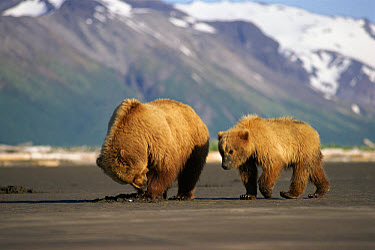 Grizzly Bear (Ursus arctos horribilis) mother and cub digging for clams, Halo Bay, Alaska  -  Neil Lucas/ npl