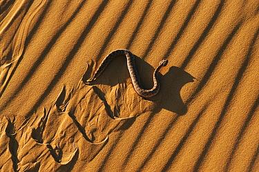Horned Viper (Cerastes cerastes) slithering on sand dune, Morocco  -  Neil Lucas/ npl