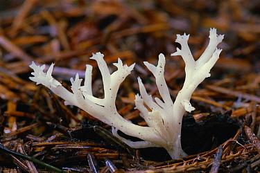 White Coral Fungus (Clavulina cristata) in conifer leaf litter, Inverness, Scotland  -  Duncan McEwan/ npl