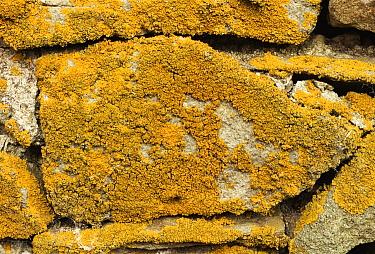 Common Orange Lichen (Xanthoria parietina) on stone wall, Yorkshire Dales National Park, England  -  Chris O'Reilly/ npl