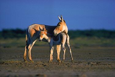 Indian Wild Ass (Equus hemionus khur) adult and juvenile, India  -  Gertrud & Helmut Denzau/ npl