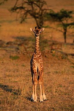 Masai Giraffe (Giraffa tippelskirchi) juvenile, Masai Mara, Kenya  -  Brent Hedges/ npl