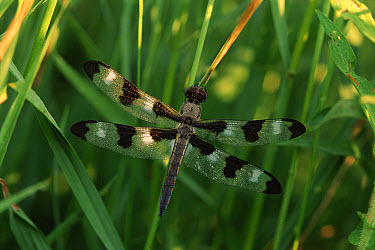 Twelve-spotted Skimmer (Libellula pulchella) dragonfly, male, Wisconsin  -  Larry Michael/ npl