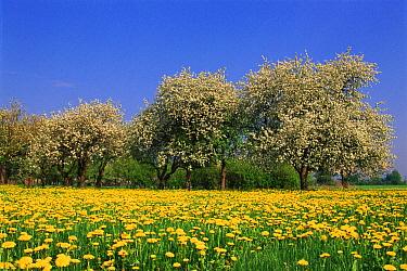 Dandelion (Taraxacum officinale) and trees in flower, Podlaski, Poland  -  Artur Tabor/ npl