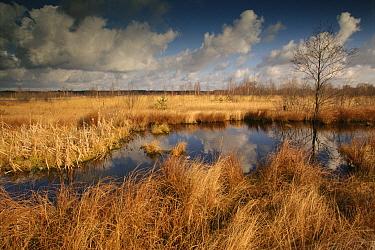 Peat bog in autumn, Poleski National Park, Poland  -  Artur Tabor/ npl