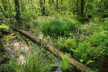 Peat bog, Poleski National Park, Poland  -  Artur Tabor/ npl