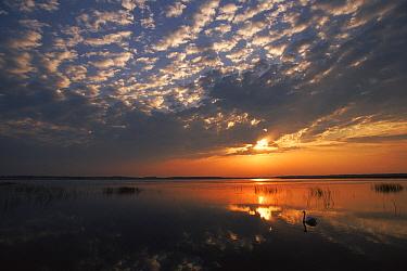 Lake with swan, Poleski National Park, Poland  -  Artur Tabor/ npl