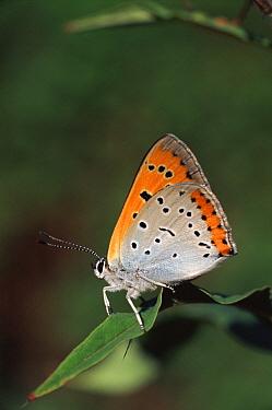 Large Copper (Lycaena dispar) butterfly, Norfolk, England  -  Paul Hobson/ npl