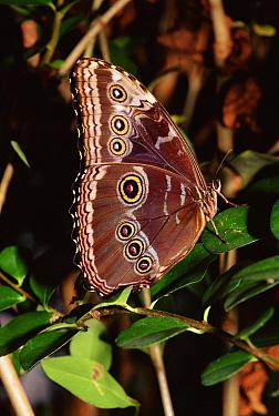 Blue Morpho (Morpho peleides) male, captive  -  Dan Burton/ npl