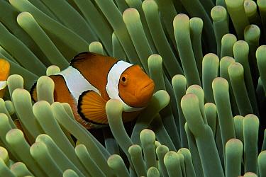 Clown Anemonefish (Amphiprion ocellaris) in anemone, Sulawesi, Indonesia  -  Georgette Douwma/ npl