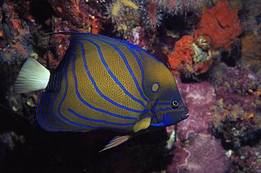 Blue-ringed Angelfish (Pomacanthus annularis), Richelieu Rock, Andaman Sea, Thailand  -  Peter Scoones/ npl
