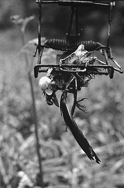 Eurasian Blackbird (Turdus merula) dead in pole trap, United Kingdom  -  Richard Porter/ npl