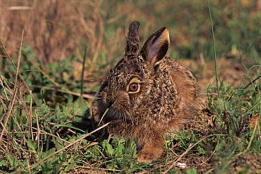 Iberian Hare (Lepus granatensis) nibbling on grass, Spain  -  Jose Luis Gomez De Francisco/ np