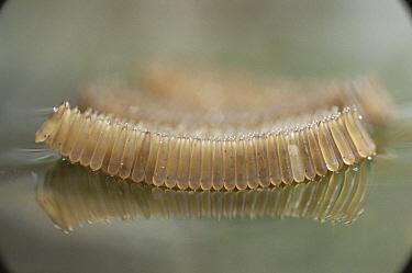 Mosquito (Culex pipiens) egg raft floating on water, United Kingdom  -  Martin Dohrn/ npl