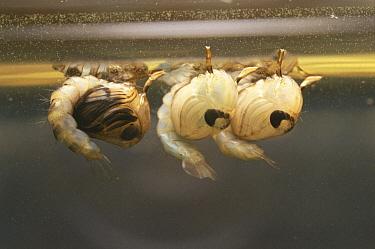 Mosquito (Culex pipiens) larvae filter feeding at surface of water, United Kingdom  -  Martin Dohrn/ npl