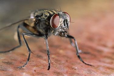 House Fly (Musca domestica) close-up portrait  -  Warwick Sloss/ npl