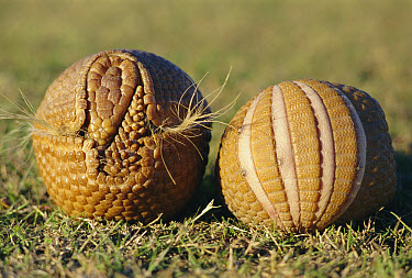 Brazilian Three-banded Armadillo (Tolypeutes tricinctus) rolled up in a defensive ball  -  Mark Payne-Gill/ npl