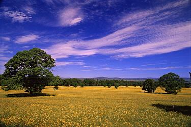 Oil Seed Rape (Brassica napus) field, Forfar, Scotland  -  Brian Lightfoot/ npl