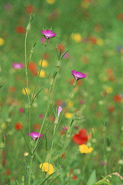 Corncockle (Agrostemma githago) and wildflowers, Leeuwarden, Netherlands  -  Niall Benvie/ npl