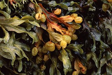 Twisted Wrack (Fucus spiralis) fertile fronds, Arisaig, Argyll, Scotland  -  Duncan McEwan/ npl