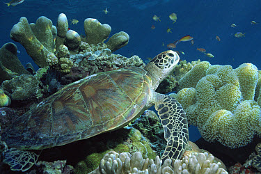 Green Sea Turtle (Chelonia mydas) on coral reef Sipadan, Sabah, Malaysia  -  Georgette Douwma/ npl