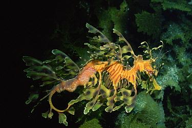 Leafy Sea Dragon (Phycodurus eques) male carrying eggs along tail, Kangaroo Island, Australia  -  Peter Scoones/ npl