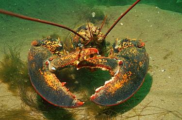 American Lobster (Homarus americanus), Bay of Fundy, Canada  -  Peter Scoones/ npl