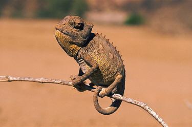 Namaqua Chameleon (Chamaeleo namaquensis) juvenile, Namib desert, Namibia  -  Martin Gabriel/ npl