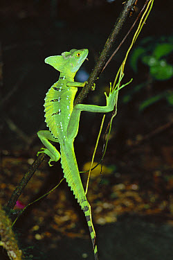 Jesus Christ Lizard (Basiliscus basiliscus) on branch, Costa Rica  -  Tim Martin/ npl