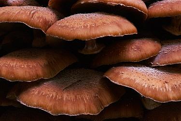 Honey Fungus (Armillaria mellea) on dead Oak (Quercus sp) tree, Scotland  -  Duncan McEwan/ npl