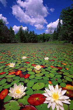 Fragrant Water Lily (Nymphaea odorata) mass covering lake, Quebec, Canada  -  Louis Gagnon/ npl