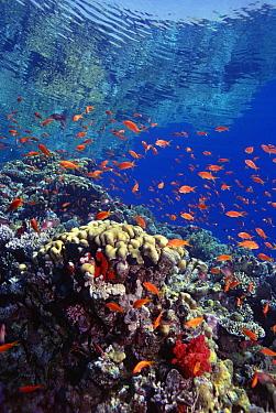 Coral reef with Basslet (Pseudanthias sp) school, Red Sea, Egypt  -  Georgette Douwma/ npl