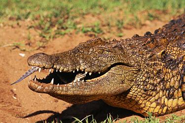 Nile Crocodile (Crocodylus niloticus) carries baby in mouth to release in river, Kwazulu Natal, South Africa  -  Pat De La Harpe/ npl