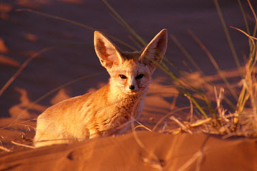 Fennec Fox (Vulpes zerda) showing large ears adapted to desert climate, Morocco  -  Graham Hatherley/ npl
