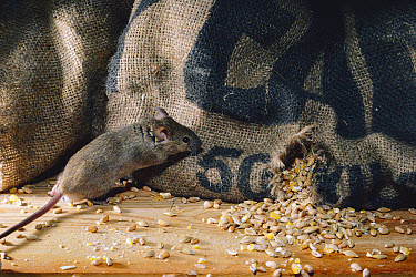 House Mouse (Mus musculus) feeding on grain from sack, United Kingdom  -  Adrian Davies/ npl