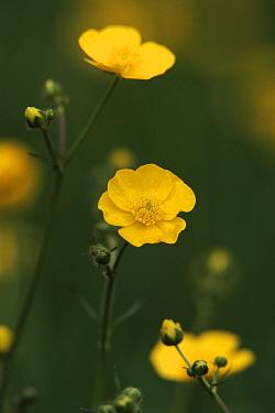 Buttercup (Ranunculus acris) in bloom, United Kingdom  -  Chris O'Reilly/ npl