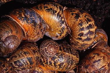 Brown Garden Snail (Helix aspersa) group hibernating, England  -  Graham Hatherley/ npl