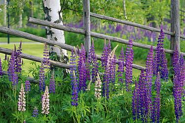 Nootka Lupine (Lupinus nootkatensis) in flower with fence, Sweden  -  Bjorn Forsberg/ npl