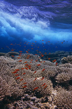 Sea Goldie (Pseudanthias squamipinnis) schooling over coral reef with crashing waves, Red Sea, Egypt  -  Georgette Douwma/ npl