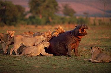 African Lion (Panthera leo) females attacking Hippopotamus (Hippopotamus amphibius), Masai Mara National Reserve, Kenya  -  Anup Shah/ npl
