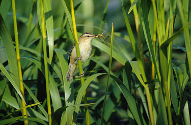 Sedge Warbler (Acrocephalus schoenobaenus) in reeds with insect prey, Scandinavia  -  Bjorn Forsberg/ npl