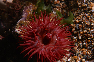 Beadlet Anemone (Actinia equina) close up, Jersey, Channel Islands, United Kingdom  -  Sue Daly/ npl