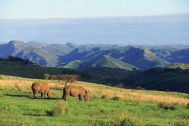 White Rhinoceros (Ceratotherium simum) pair grazing, Itala Nature Reserve, KwaZulu Natal, South Africa  -  Pat De La Harpe/ npl