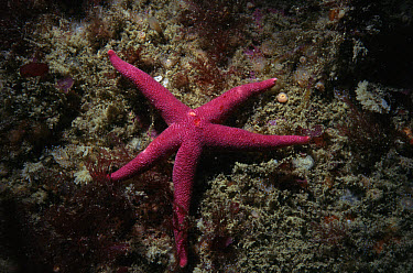 Bloody Henry Starfish (Henricia oculata), Sark, Channel Islands, United Kingdom  -  Sue Daly/ npl